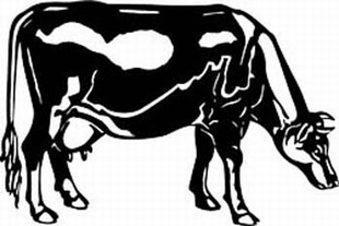 guernsey cow decal